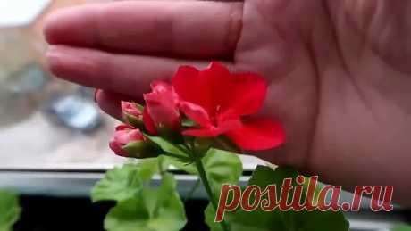 Чудо-удобрение для ГЕРАНИ! Будет радовать вас своим цветением!