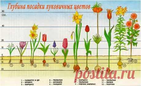 как пересадить цветущую лилию в горшке: 14 тыс изображений найдено в Яндекс.Картинках