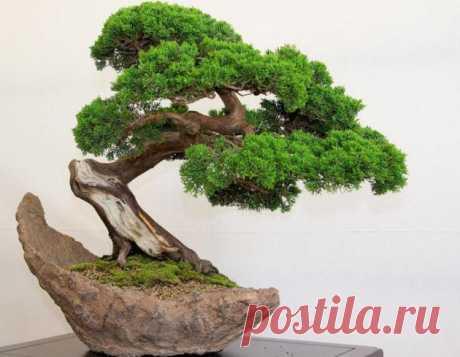 Бонсай. Уход и условия содержания. Выращивание бонсай дома Бонсай - миниатюрное деревце, которое требует сложного ухода и условий содержания. Выращивание бонсай дома - интересный процесс, который требует определенных знаний.