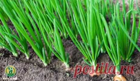 Зачем луку борная кислота. Секретная подкормка лука | «Моя Дача» — Растениеводство | Яндекс Дзен
