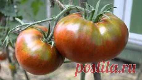 Чтобы было больше помидоров, чем зелени на них! 1. Нельзя подготавливать в теплице слишком богатый питательный грунт для этой культуры. Вносить (даже с осени) навоз или подкармливать коровяком о период вегетации. 2. Не стоит поливать томаты в первые 2-3 недели после посадки (особенно произведенной в ранние сроки). Воды, налитой в лунки, вполне достаточно для нормального укоренения растений. А небольшое ограничение с поливом только активизирует дальнейшее освоение почвы кор...