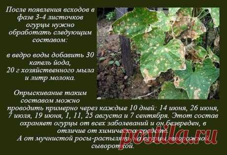 Универсальный рецепт от всех болезней огурцов.   Сад, дача, огород  Советы и рецепты - присоединяйтесь!