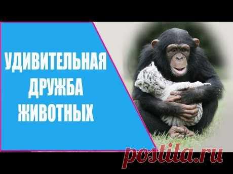 УДИВИТЕЛЬНОЕ ВИДЕО О ДРУЖБЕ ЖИВОТНЫХ / FRIENDSHIP ANIMALS.  УДИВИТЕЛЬНОЕ ВИДЕО О ДРУЖБЕ ЖИВОТНЫХ. Наблюдая за миром животных, мы обнаруживаем в нем проявление тех же чувств, что и в мире людей: совершенно разные животные испытывают друг к другу симпатию и нежную привязанность.
