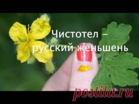 Чистотел - народ нередко называет русским женьшенем. Есть у него волшебная особенность моментально отыскивать источник болезни. Поместите сок растения или по...