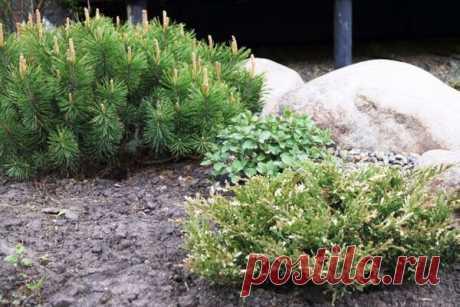 Благородные хвойные в ландшафтном дизайне дачи и сада | Дача, сад, огород, рыбалка, рецепты, красота, здоровье