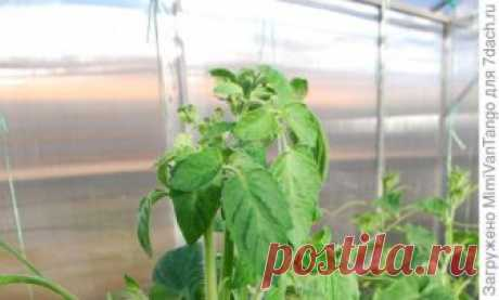 Из листьев томатов растут мощные пасынки. Что делать? - монофосфат калия