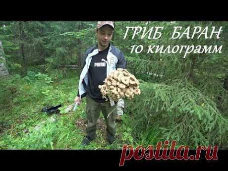 ГРИБ БАРАН,САМЫЙ РЕДКИЙ ГРИБ,10 КИЛОГРАММ ГРИБОВ!!!Нижнесергинский район