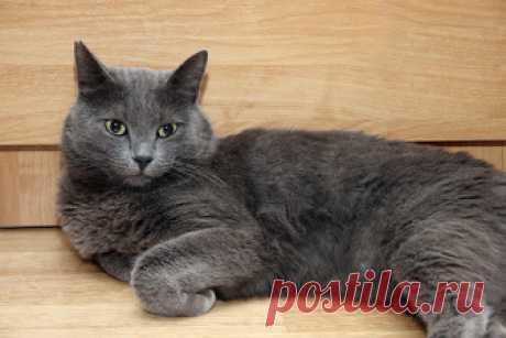 КОШКИН ДОМ. Окрасы кошек. Серая кошка Серые кошки: таинство истинного серебра  Серебристо-серый окрас шерсти кошек редко называется банальным серым: как правило, его именуют голубым, хотя, безусловно, существует и несколько иных разновидн…