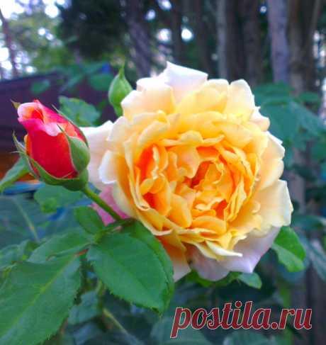 Посадите кустовую розу и не пожалеете об этом никогда. Схема посадки и ее тонкости о которых молчат спецы.   Цветанутая Дачница   Яндекс Дзен