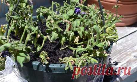 Что делать, если вянет петуния (рассада и взрослые растения)