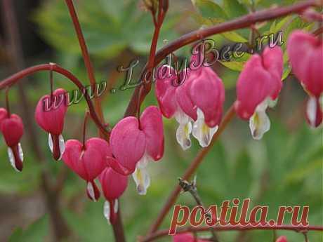 Дицентра (Dicentra) - комнатные растения и цветы для сада: выращивание, местоположение, температура, полив, пересаживание, размножение, болезни и вредители