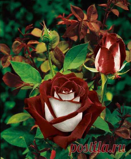 Двуцветная роза сорта Osiria