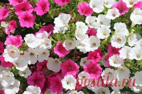 Выращивание рассады петунии в домашних условиях – когда сеять и как ухаживать Выращивание рассады петунии в домашних условиях: от посева, до ухода и высаживании в открытый грунт. Хитрости и тонкости посева семян.