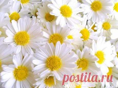 Such difficult camomile