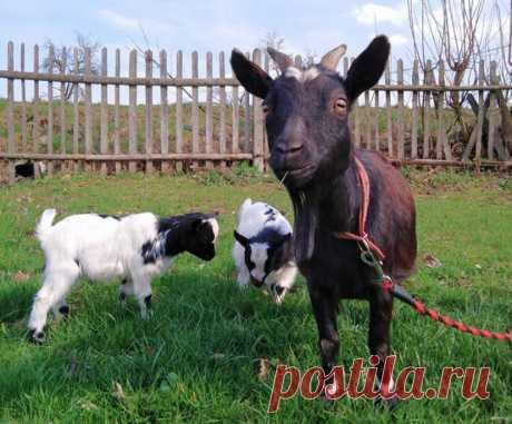 Пробник козы: коротко о камерунцах | ЦВЕТАНА | Яндекс Дзен