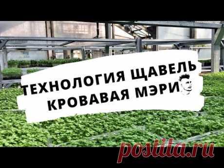 Микрозелень Технология Щавель Кровавая Мэри Сангвиник  Бейби-лист