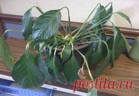 Основные причины по которым у спатифиллума желтеют листья