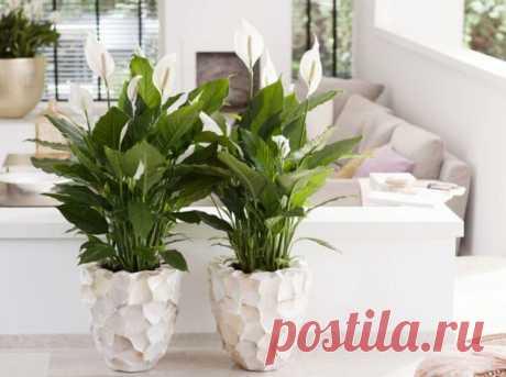 Куда лучше поставить в доме цветок спатифиллум? Рекомендации мастеров фен-шуй | На земле инфо | Яндекс Дзен