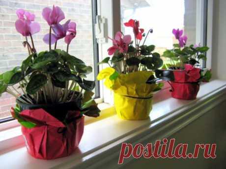 Цикламен — цветок Солнца. Уход, выращивание, размножение. Фото - Ботаничка.ru