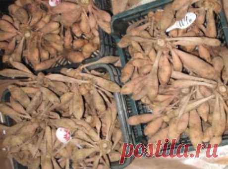Способы хранения луковиц - Садоводка