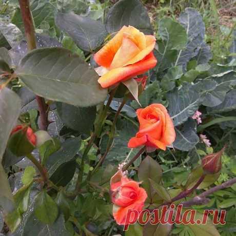 Моё  #Розовое #воспоминание о лете среди зимы... #розы #дача #люблюрозы #любимыерозы #blekbakkara #сказка #розырозы #любимаядача #ессентуки #ессентукионлайн #кмв_26 #радостьвмелочах #мечтысбываются