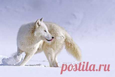 Белый Волк: Волки в раю : неотразимый взгляд на обоих скотоводов и защитники природы (Видео)