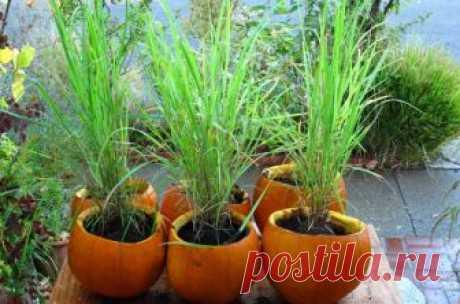 Лемонграсс: выращивание дома семенами и в открытом грунте, правила посадки цитронеллы