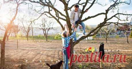 Как омолодить старую яблоню – полезные советы для начинающих Правильная обрезка яблони – не самый простой процесс. Для того чтобы не навредить дереву, а улучшить его состояние и стимулировать плодоношение, нужно соблюдать ряд важных правил. Если вы новичок в садоводстве, заранее ознакомьтесь с ними.