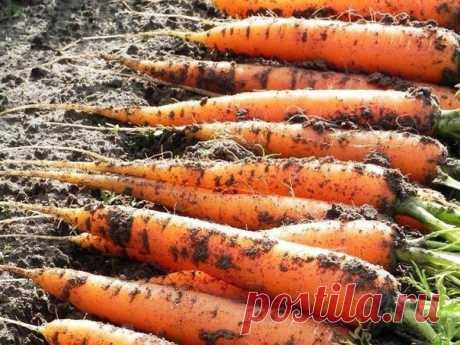 Марганцовка для морковки  Чтобы не привлечь морковную муху при прореживании моркови, нужно взять ведро воды и развести в нем 1 столовую ложку красного или черного молотого перца (хватит на 10 кв.м). Настаивать не нужно, лишь обрызгать морковь настоем перед прореживанием.  Если хотите получить урожай хорошей чистой моркови (без всякой гнили, заразы и т. д.) советую обязательно после второго прореживания в начале июля полить молодые растения водой (на ведро) с разведенной в...