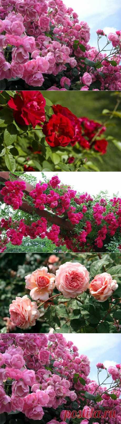 Preparation of roses for winter! Overalls for works in a garden!.