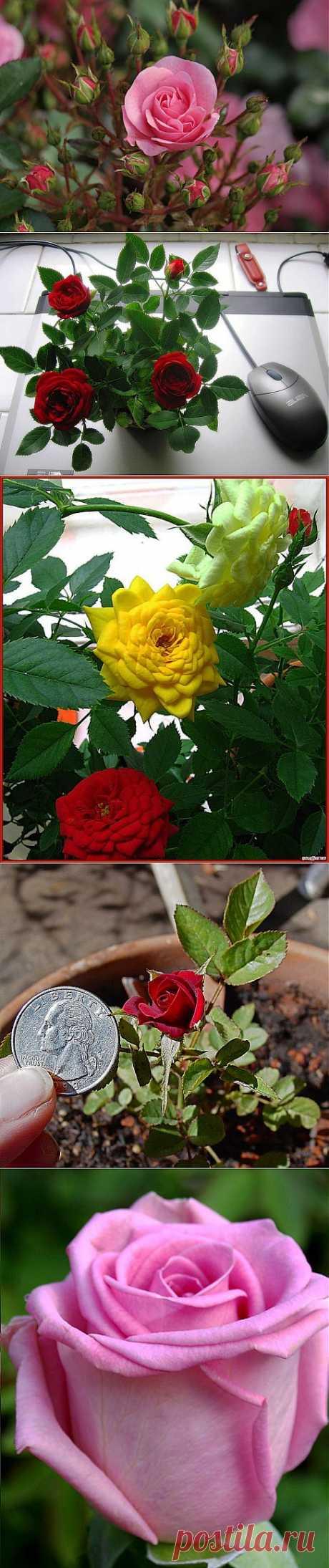 Комнатные розы - сорта | НА ЗАВАЛИНКЕ