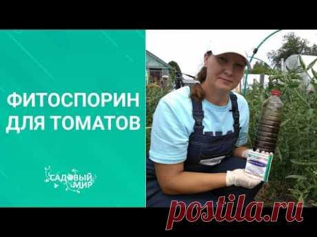 Профилактика опасных заболеваний : кладоспориоз и фитоспопоз томатов.