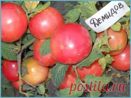 Томат Демидов: описание и характеристика сорта с фото, урожайность, особенности выращивания, отзывы тех, кто сажал
