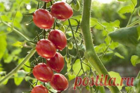С этой уникальной подкормкой ваши томаты будут плодоносить до октября! - lucheedlavas.ru