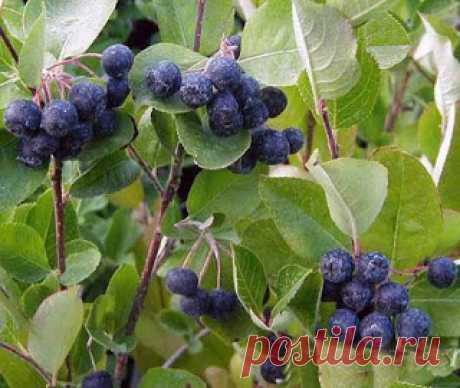 С цветами по жизни!: Арония (рябина черноплодная) Викинг