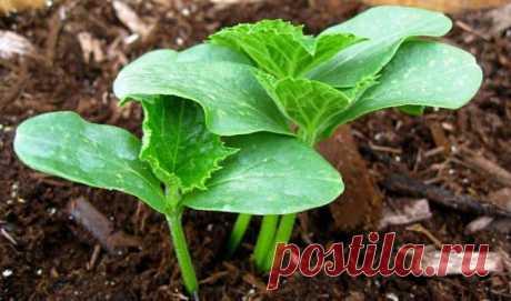 Как правильно сажать огурцы семенами Как подготовить почву к посадке Многие садоводы пренебрегают одним важным правилом, из-за чего у них плохо растут овощи и мало плодоносят. А правило это заключается в том, что почву для высадки необхо...