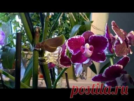 Как получить детку на орхидее Фаленопсис  без гормонов  🌌 - YouTube