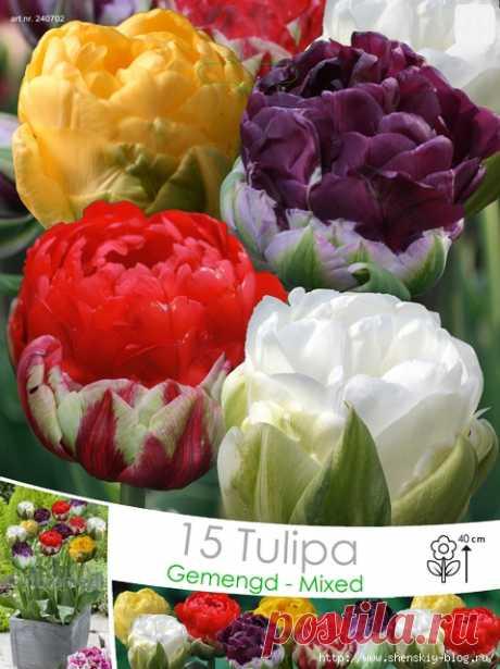 "Improbable tulip of a grade \""Ice cream\""!"