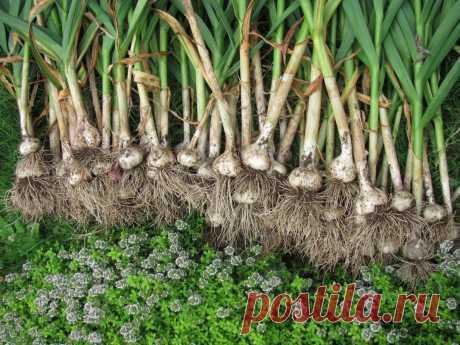 Что посадить после уборки чеснока Какие овощные культуры можно сажать после чеснока, чтобы получить хороший урожай.