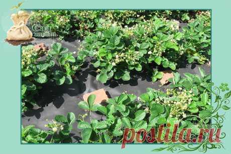 """""""Сбриваем"""" усы у земляники садовой и подкормим ее, чтобы созрело больше ягодок   Сад Жизни   Яндекс Дзен"""