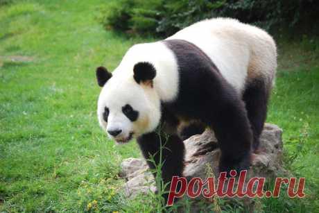Интересные факты о панде Панду часто называют бамбуковым медведем, поскольку она питается практически одним бамбуком. Панда входит в число самых любимых и охраняемых редких животных в мире. Большие панды стали любимцами публики благодаря их схожести с плюшевыми медведями …