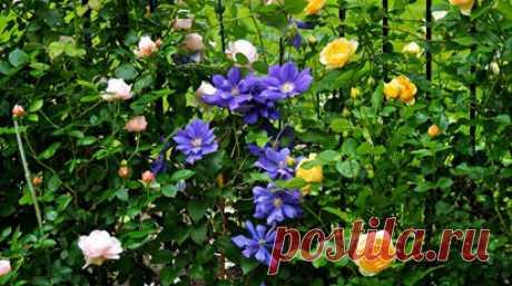Плетистая роза и клематис| Полезные статьи на блоге Беккер Плетистая роза и клематис | Советы от специалистов по садоводству, цветоводству, уходу за домашними растениями для Вас в интернет-магазине Беккер