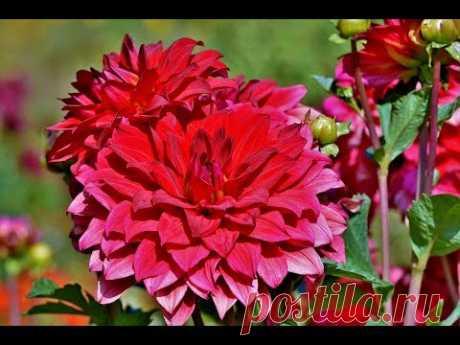 Цветы #Георгины - красивые, надёжные, долгоцветущие растения с широкой гаммой окраски соцветий и разнообразием форм. #Георгины своим обильным цветением украс...