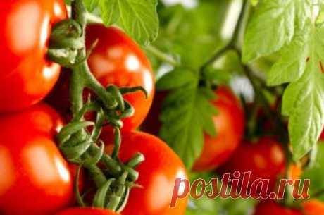 Чем подкормить помидоры, чтобы плоды были крупнее и слаще: подкормка томатов для сладости и сахаростости, чем поливать, как сделать сладкую воду и можно ли ею удобрять в теплице