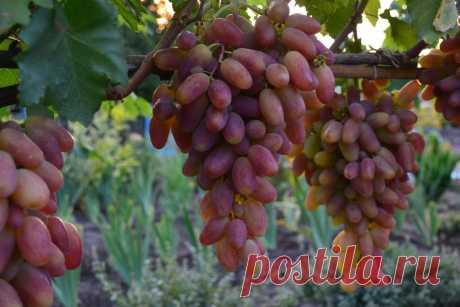 Сорт винограда Преображение не любит переизбыток воды, важно не залить растение, иначе ягоды будут безвкусными. Виноград Преображение является ранним сортом