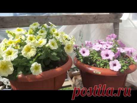 СЕКРЕТНАЯ ПРИЩИПКА ПЕТУНИИ💖Будет Красиво и Пышно Цвести все лето