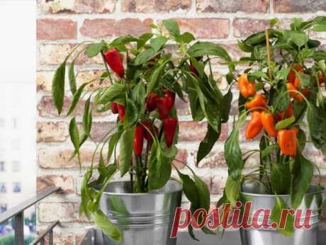 Комнатный сладкий перец — выращиваем паприку на подоконнике! Уход в домашних условиях. Фото — Ботаничка.ru