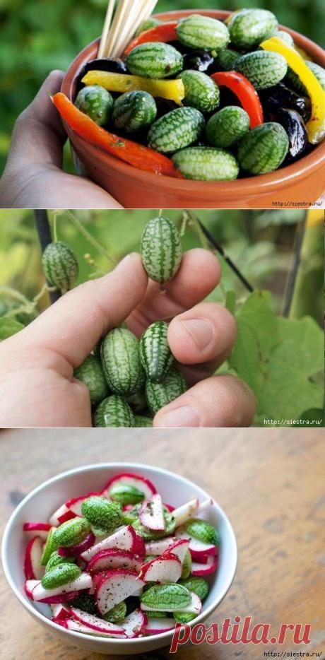 Посадите огурец арбузный - вкуснятинка с огорода.