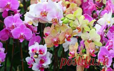 Натуральные подкормки для орхидей Какие натуральные подкормки способствуют регулярному цветению орхидей.