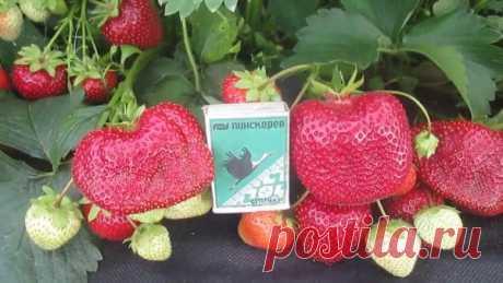 Клубника Мармелада: описание сорта и отзывы садоводов, кто выращивал, урожайность, посадка и уход